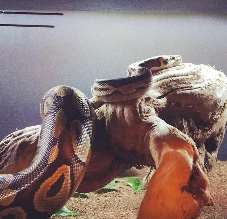Ball Python Humidity & Temperature Requirements