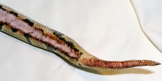example of a classic ball python burn