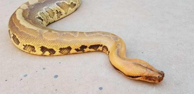 short tailed python by Chris Jensen