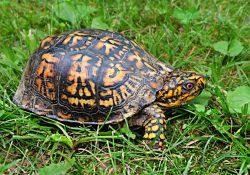do turtles make good pets - box turtle