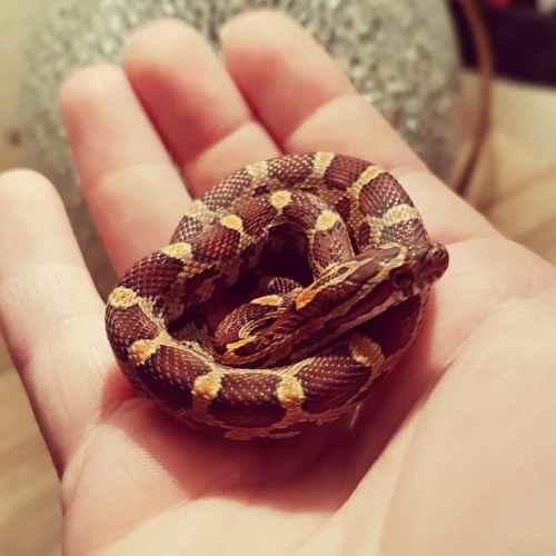 CornSnake | Guia | Cores | Cobra do Milho