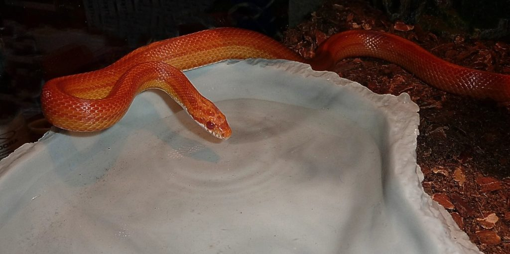 Feeding your corn snake reptifiles corn snake care guide corn snake food and water needs nvjuhfo Images
