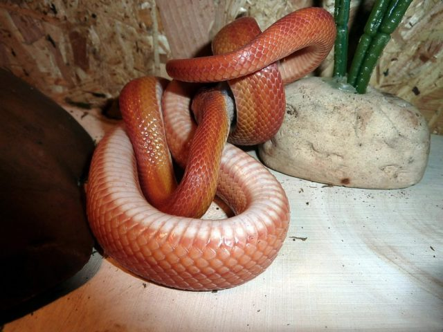 Corn snake food - they use constriction to subdue prey