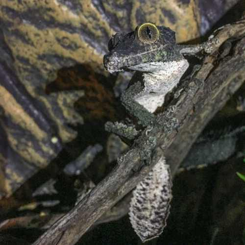 Uroplatus sikorae — Leaf-tailed gecko diseases and health info