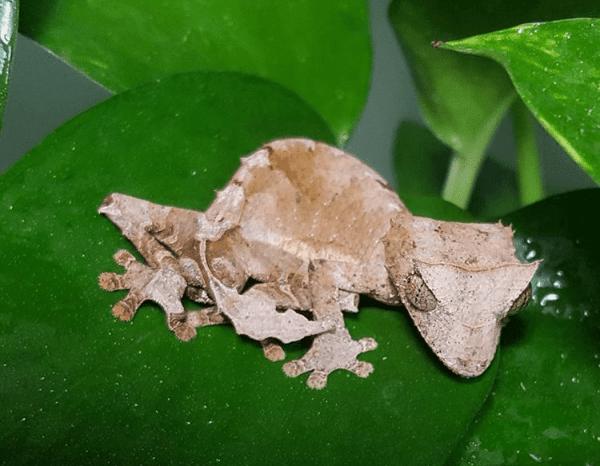 Uroplatus ebenaui, spearpoint leaf-tailed gecko