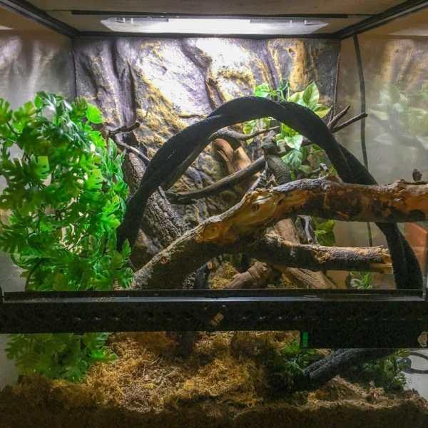 Uroplatus sikorae, mossy leaf-tailed gecko terrarium