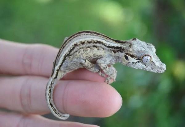 Tiki's Geckos and ReptiFiles - gargoyle gecko handling tips