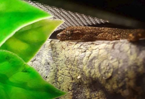 The Ultimate Mourning Gecko Care Guide - Mourning Gecko Health Guide