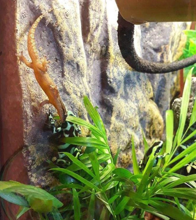 Mourning Gecko Vivarium Size Requirements Mourning Gecko Care