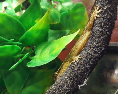 The Ultimate Mourning Gecko Care Guide - Mourning Gecko Handling Tips