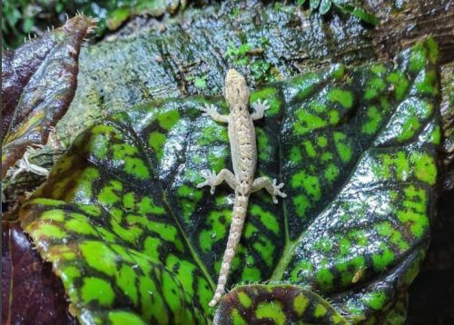 The Ultimate Mourning Gecko Care Guide - Decorating Your Mourning Gecko Vivarium