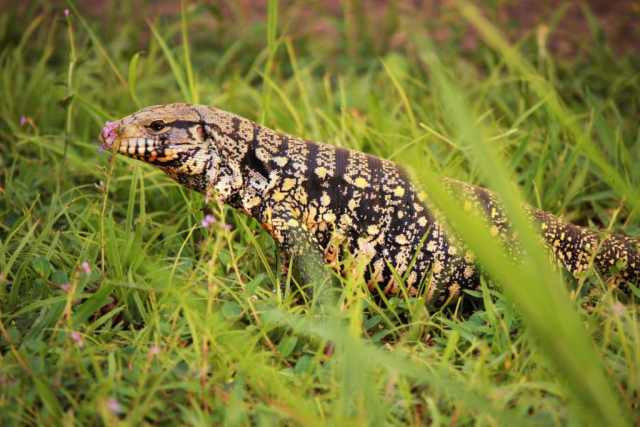 Argentine Tegu Care Guide