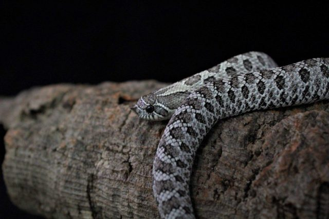 Axanthic het lavender western hognose — The Hognose Snake Care Guide