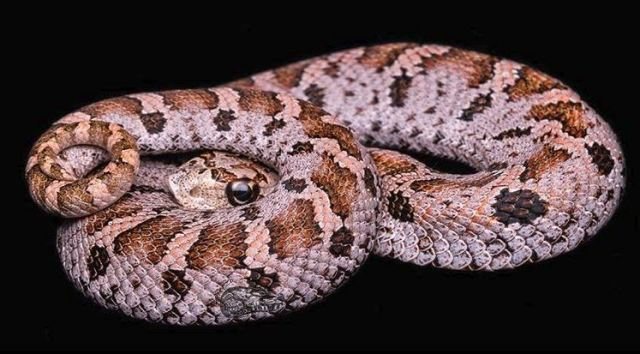 Eastern hognose snake, Heterodon platirhinos
