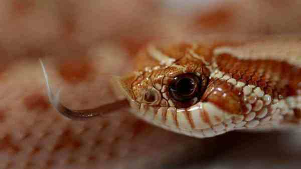 The Ultimate Hognose Snake Care Guide