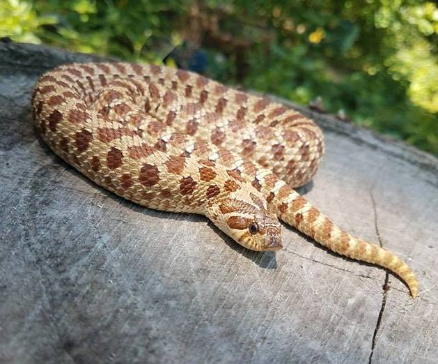 Hognose Temperature, Lighting & Humidity Requirements