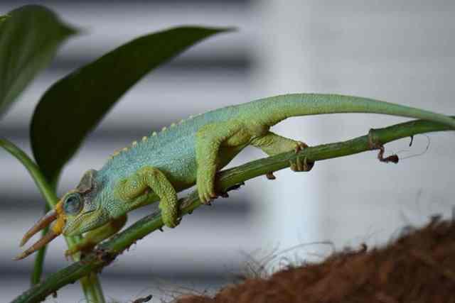 Jackson's Chameleon Subspecies - male Trioceros jacksonii merumontanus