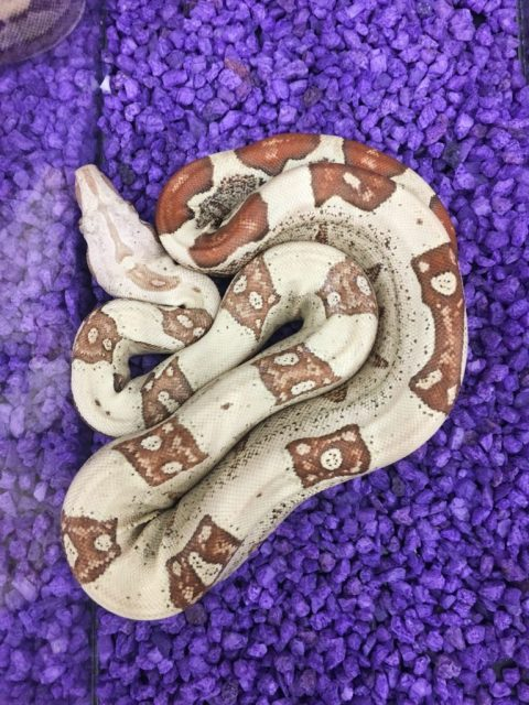 Wasatch Reptile Expo Fall 2018 - R&T Reptiles and Supplies - jungle vpi