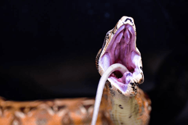 Red-Tailed Boa Food - boa eating a rat