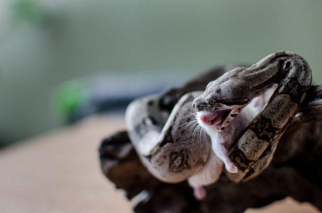 Boa Constrictor Feeding Tips