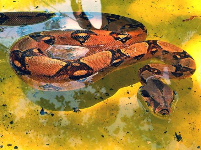 Red-Tailed Boa Food - boa in water