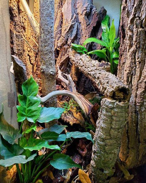 uroplatus sikorae terrarium 18x18x36