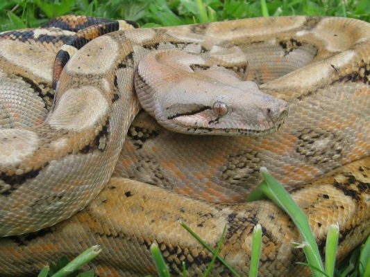 Boa Species & Subspecies | ReptiFiles Red-Tailed Boa Care Guide