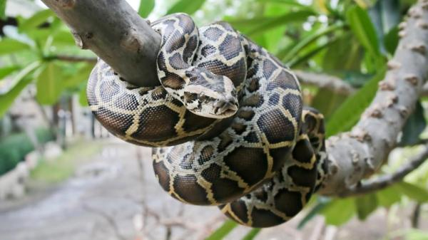 Burmese Python Facts and Pictures | Reptile Fact