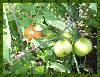 nice ripening tomatoes.