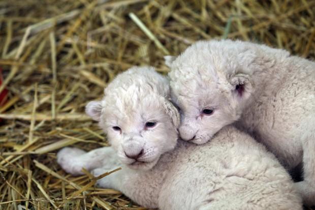 Due leoncini bianchi allo zoo in Messico