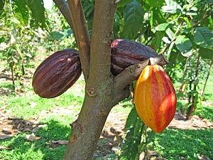 Il potere del cacao: in giuste dosi  aiuta il cervello a non invecchiare