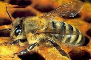 Quei pesticidi killer delle api, Greenpeace lancia l'allarme