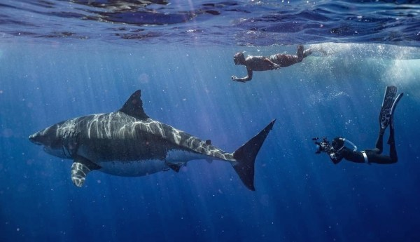 Deep Blue, perhaps the largest known great white shark ...