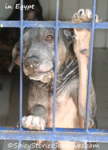 Dog with mange in treatment at Egyptian Society for Mercy to Animals in Cairo, Egypt