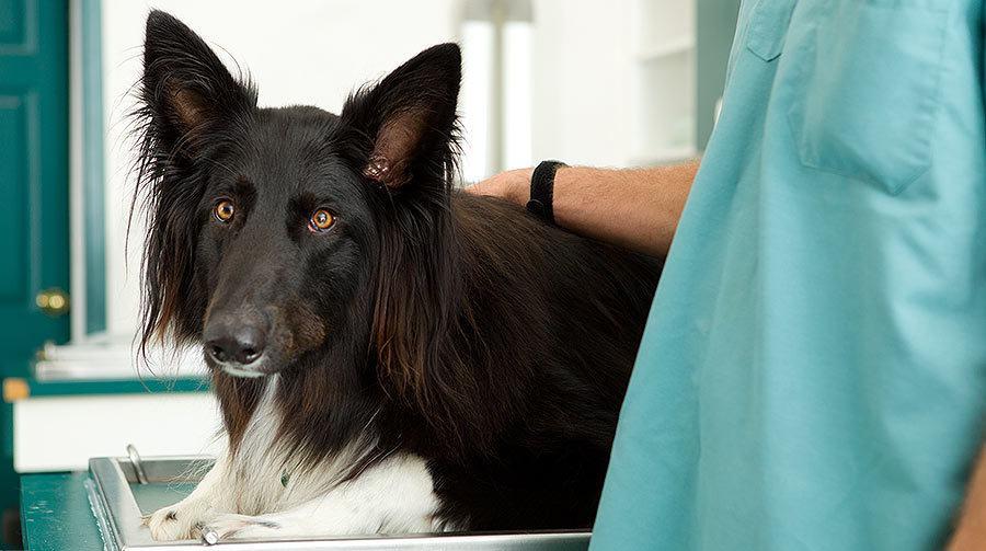 Perro en el veterinario: por qué esterilizar o castrar a su perro