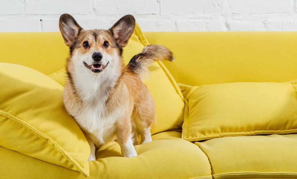perro de pie en el sofá amarillo