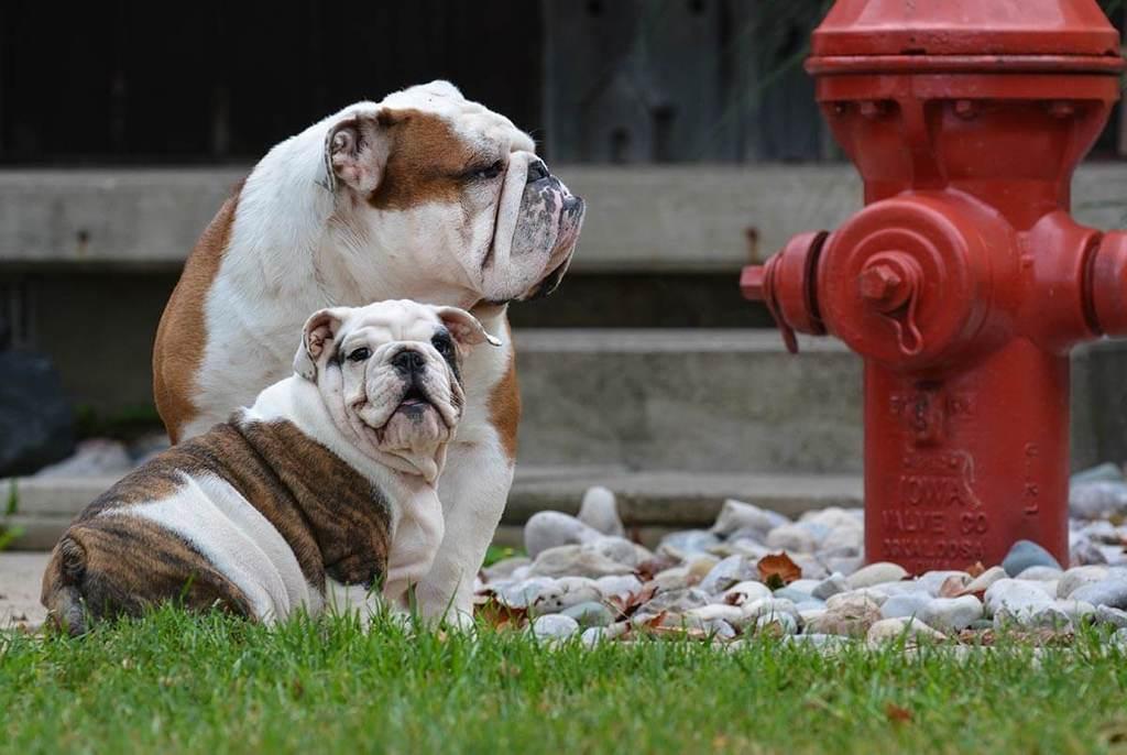 Dos bulldogs sentados junto a una boca de incendios roja