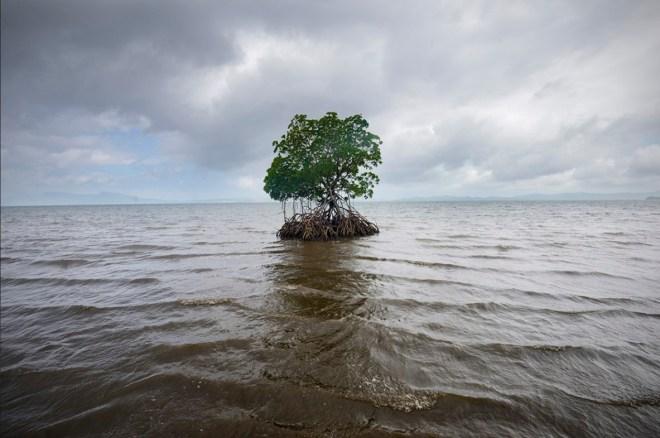 Fiji Tree
