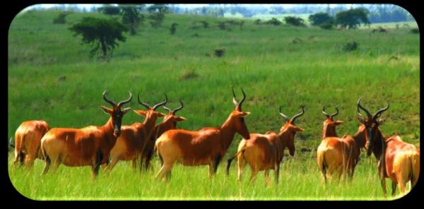 Group of female hartebeests in the Senkele Swayne's ...