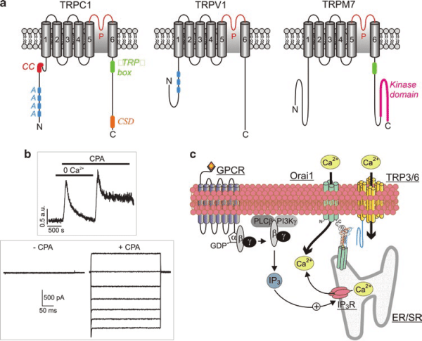 Structure and function of transient receptor potential ...