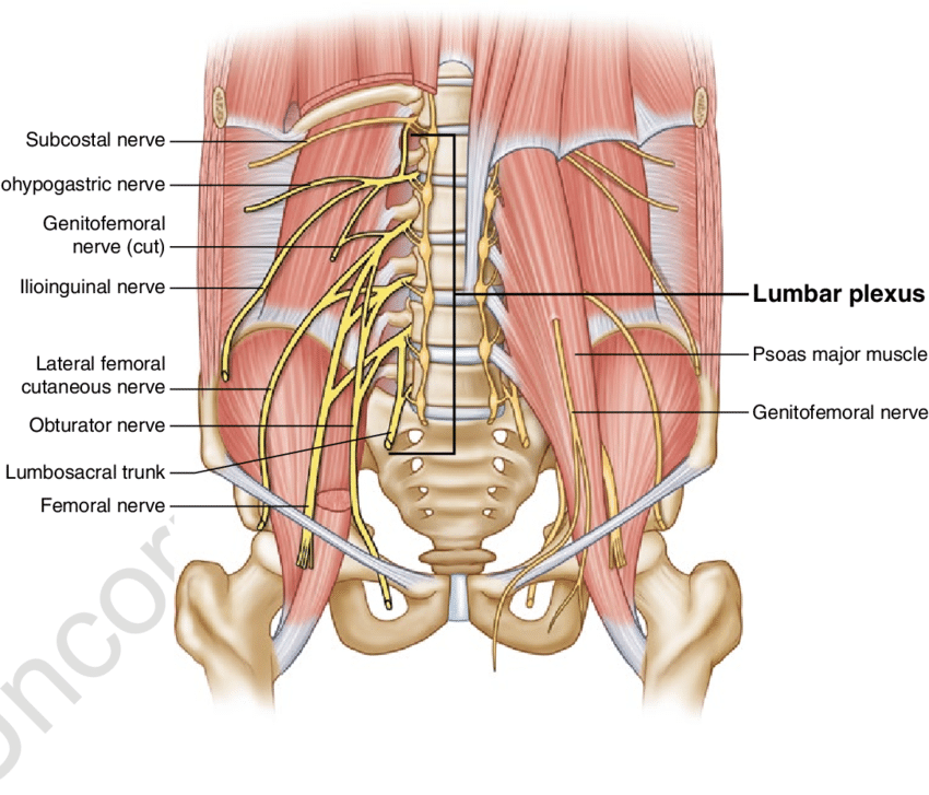 Pinched Nerve In Pelvic Region