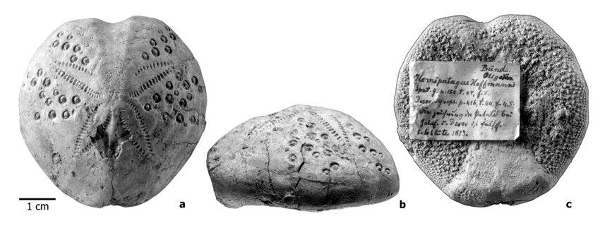 Hemipatagus hoffmanni (Goldfuss, 1829), syntype and figured specimen of | Download Scientific