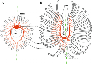 Simplified schemes of lophophore innervation in