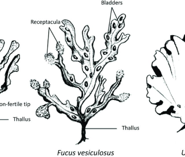 Structures Of Fucus Spiralis Fucus Vesiculosus And Ulva Sp Collected In The Paulina Intertidal