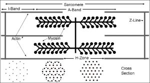 Schematic diagram of a muscle sarere The isotropic and