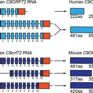Expression of C9ORF72 in nuclear and cytoplasmic protein