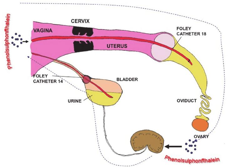 Pregnant Dog Anatomy Diagram