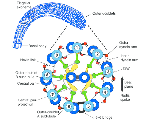 Axoneme. Schematic diagram of the flagellar axoneme in cross-section. Structures that are discussed in this Commentary are highlighted. The details of the CP complex are based on the work of Mitchell (Mitchell, 2003a). Reprinted from Lindemann (Lindemann, 2007) with permission. DRC, dynein regulatory complex.