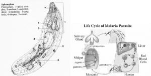 A diagram of Plasmodium , the causative agent of malaria