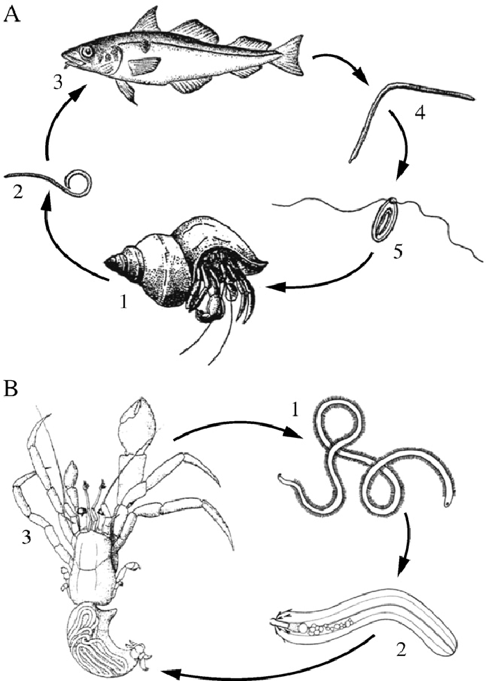 Life Cycles Of The Nematode And Nematomorph Parasites Of Hermit Crabs Download Scientific Diagram